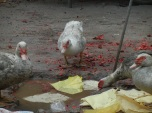Some ducks are drinking in a little puddle on the remainings of firecrakers.